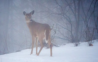 Deer in the Winter Mist