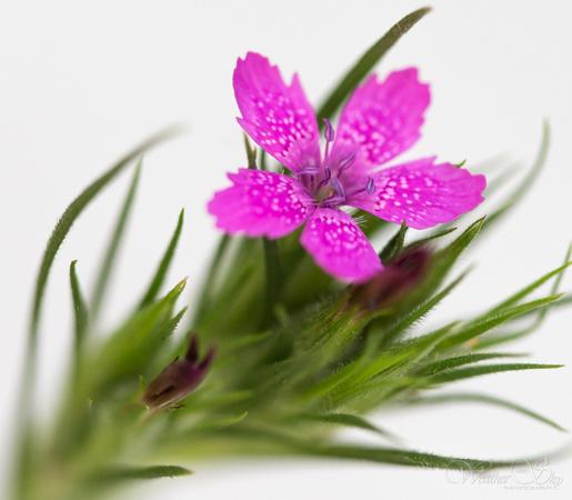 Kerry ann lecky hepburn plants and flowers tiny pink flower tiny pink flower mightylinksfo